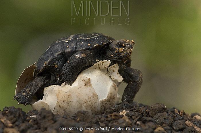 Pinzon Island Tortoise (Chelonoidis ephippium) hatchling emerging from egg, Charles Darwin Research Station, Puerto Ayora, Santa Cruz Island, Galapagos Islands, Ecuador  -  Pete Oxford