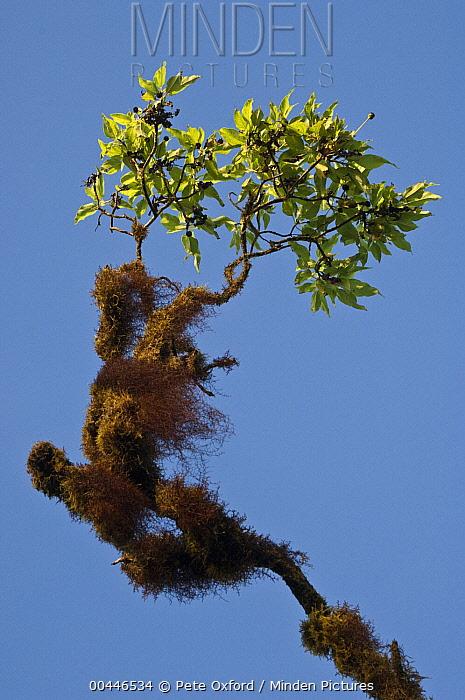 Scalesia (Scalesia pedunculata) branch with lichen, highlands of Santa Cruz Island, Galapagos Islands, Ecuador  -  Pete Oxford