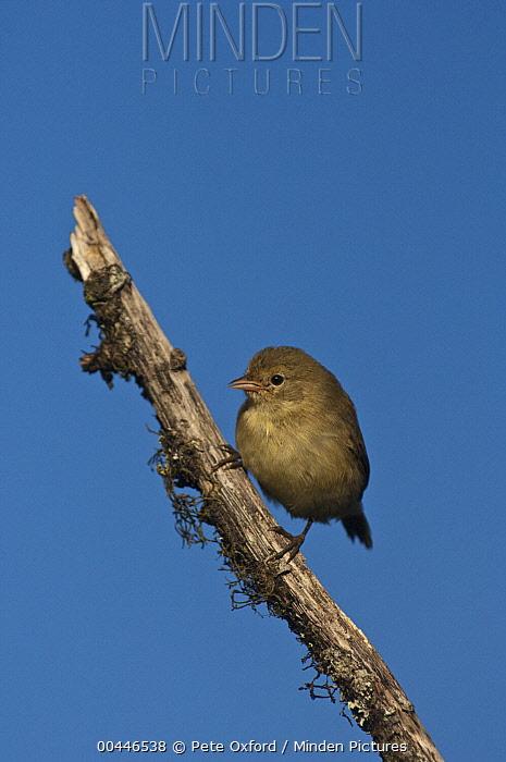 Warbler Finch (Certhidea olivacea), highlands of Santa Cruz Island, Galapagos Islands, Ecuador  -  Pete Oxford