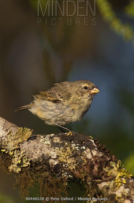 Small Tree-Finch (Camarhynchus parvulus), highlands of Santa Cruz Island, Galapagos Islands, Ecuador  -  Pete Oxford