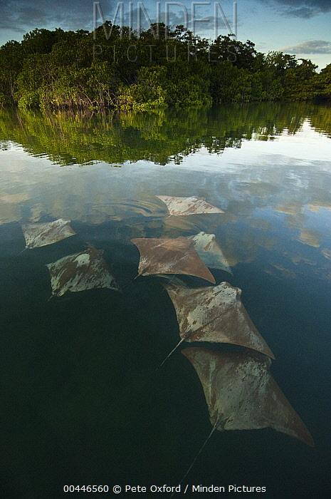 Golden Cownose Ray (Rhinoptera steindachneri) group, Santa Cruz Island, Galapagos Islands, Ecuador  -  Pete Oxford