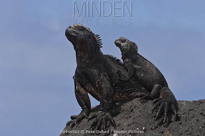 Marine Iguana (Amblyrhynchus cristatus) adult and juvenile, Puerto Ayora, Santa Cruz Island, Galapagos Islands, Ecuador  -  Pete Oxford
