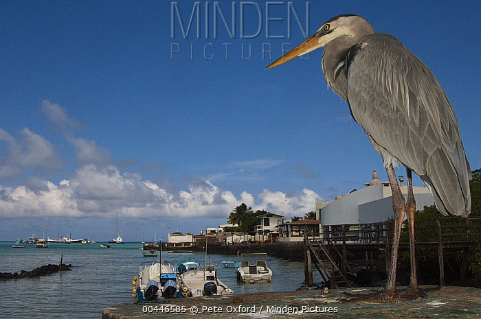 Great Blue Heron (Ardea herodias) with town and boats in background, Puerto Ayora, Santa Cruz Island, Galapagos Islands, Ecuador  -  Pete Oxford