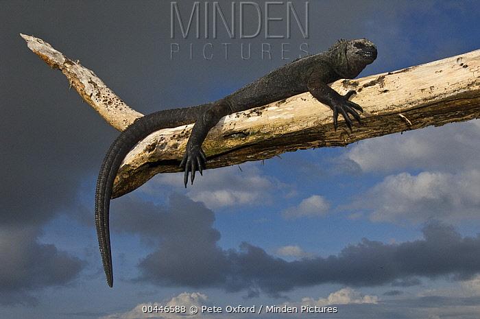 Marine Iguana (Amblyrhynchus cristatus) resting on branch, Puerto Ayora, Santa Cruz Island, Galapagos Islands, Ecuador  -  Pete Oxford