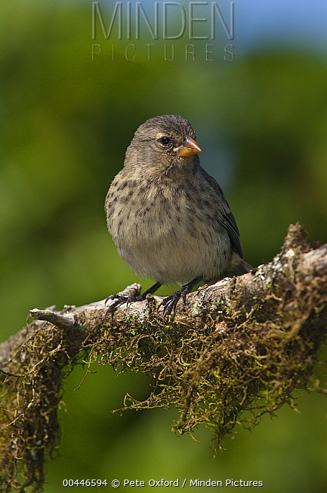 Small Ground-Finch (Geospiza fuliginosa), Puerto Ayora, Santa Cruz Island, Galapagos Islands, Ecuador  -  Pete Oxford