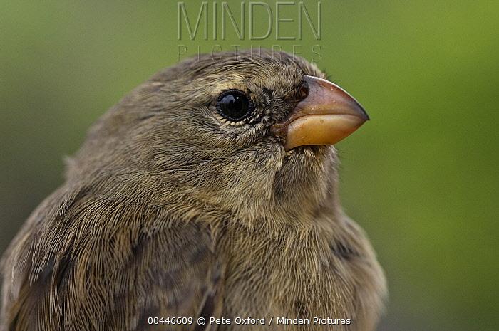 Small Tree-Finch (Camarhynchus parvulus) portrait, highlands of Santa Cruz Island, Galapagos Islands, Ecuador  -  Pete Oxford