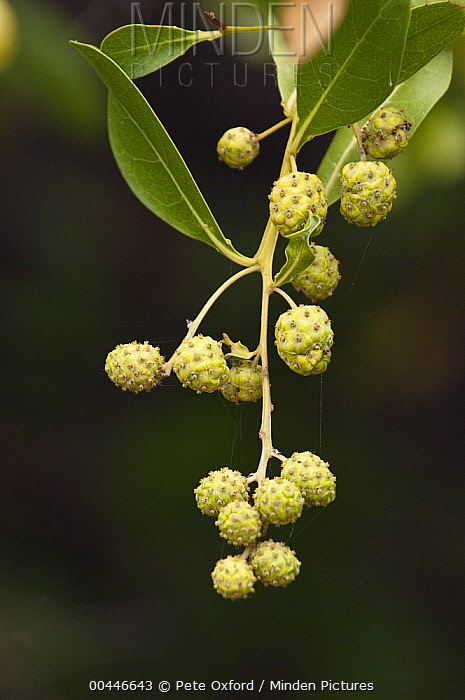 Button Mangrove (Conocarpus erectus) fruit, Puerto Ayora, Santa Cruz Island, Galapagos Islands, Ecuador  -  Pete Oxford