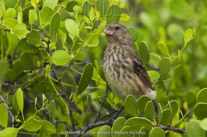 Vegetarian Finch (Platyspiza crassirostris) in mangroves, highlands of Santa Cruz Island, Galapagos Islands, Ecuador  -  Pete Oxford