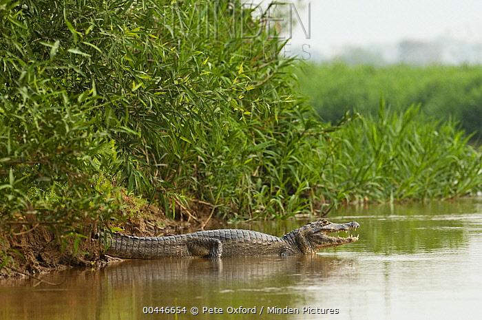 Jacare Caiman (Caiman yacare) thermoregulating on in shallow water, Pantanal, Brazil  -  Pete Oxford