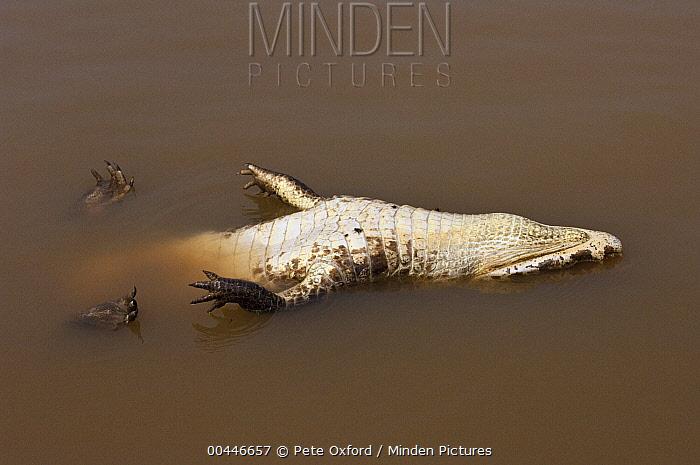 Jacare Caiman (Caiman yacare) carcass floating, Pantanal, Brazil  -  Pete Oxford