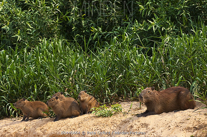 Capybara (Hydrochoerus hydrochaeris) group on riverbank, Pantanal, Brazil  -  Pete Oxford