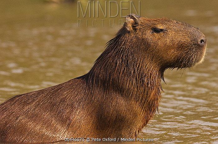 Capybara (Hydrochoerus hydrochaeris) in shallow water, Pantanal, Brazil  -  Pete Oxford
