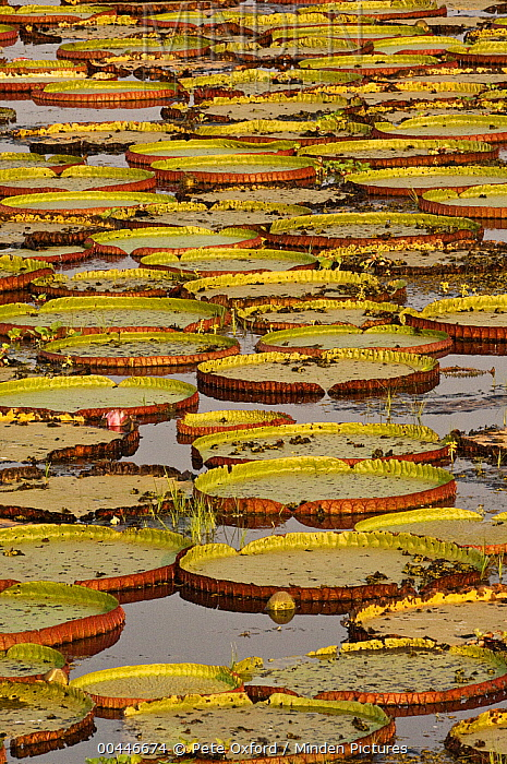 Amazon Water Lily (Victoria amazonica) pads, Pantanal, Brazil  -  Pete Oxford