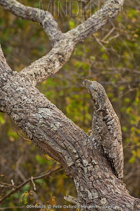 Great Potoo (Nyctibius grandis) camouflaged on tree, Pantanal, Brazil  -  Pete Oxford