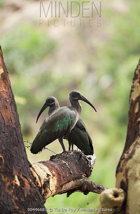 Hadada Ibis (Bostrychia hagedash) pair, Mpala Research Centre, Laikipia, Kenya  -  Tui De Roy