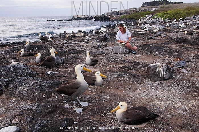 Waved Albatross (Phoebastria irrorata) nesting colony and researcher, Hood Island, Galapagos Islands, Ecuador  -  Tui De Roy