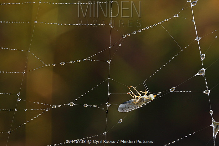 Spider web with beads of dew and trapped fly, France  -  Cyril Ruoso