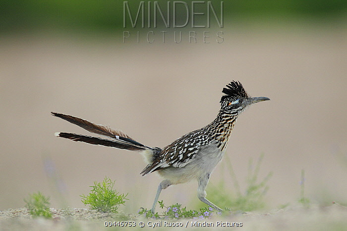 Greater Roadrunner (Geococcyx californianus) running, southern Texas  -  Cyril Ruoso
