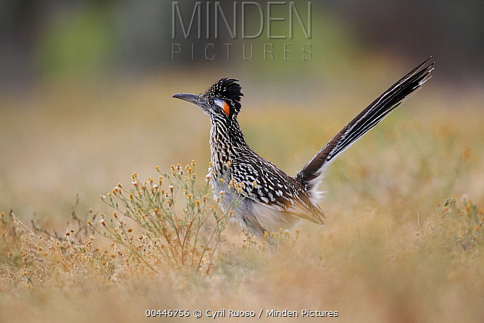 Greater Roadrunner (Geococcyx californianus) displaying, southern Texas  -  Cyril Ruoso