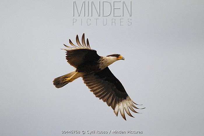 Northern Caracara (Caracara cheriway) flying, southern Texas  -  Cyril Ruoso