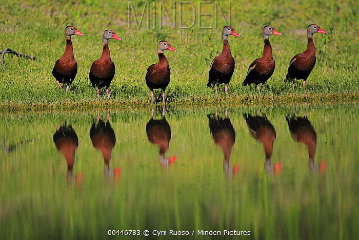 Black-bellied Whistling Duck (Dendrocygna autumnalis) group at edge of water, southern Texas  -  Cyril Ruoso