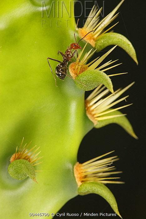 Ant (Formicidae) on Engelmann Prickly Pear (Opuntia engelmannii) cactus, southern Texas  -  Cyril Ruoso
