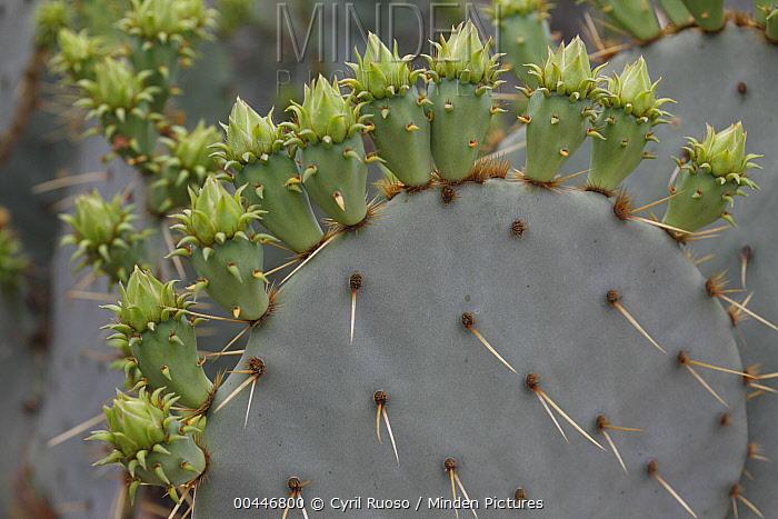 Engelmann Prickly Pear (Opuntia engelmannii) cactus flower buds, southern Texas  -  Cyril Ruoso