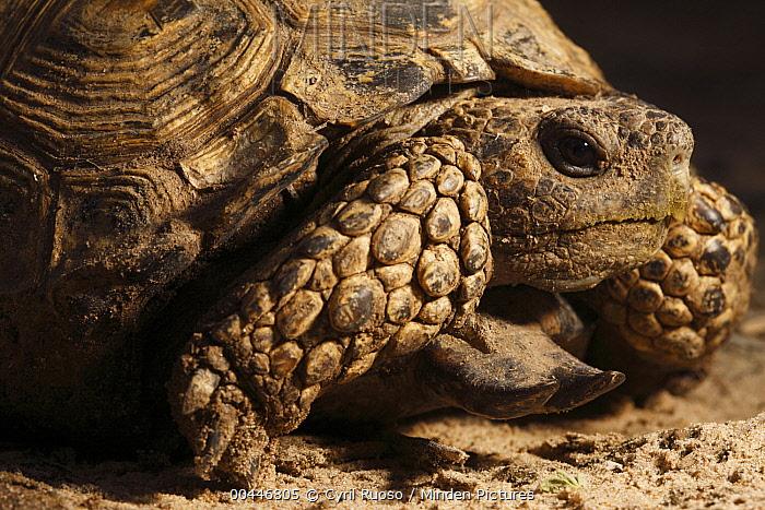 Texas Tortoise (Gopherus berlandieri), southern Texas  -  Cyril Ruoso