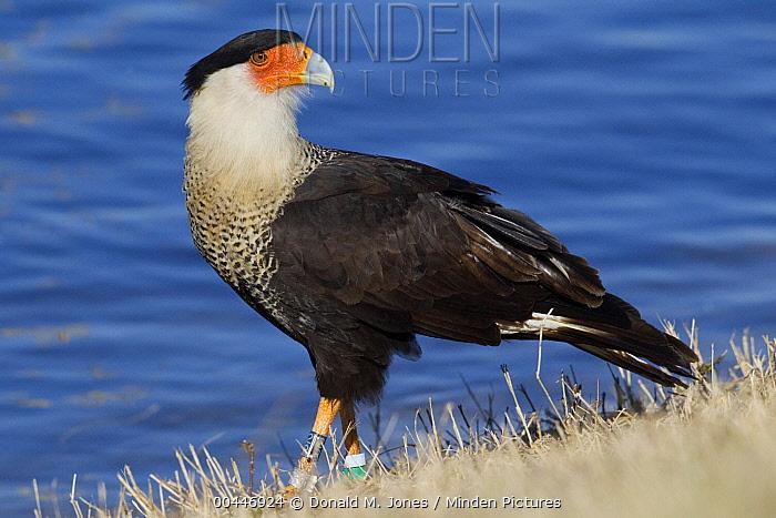Northern Caracara (Caracara cheriway) banded bird at the edge of a lake, Florida  -  Donald M. Jones