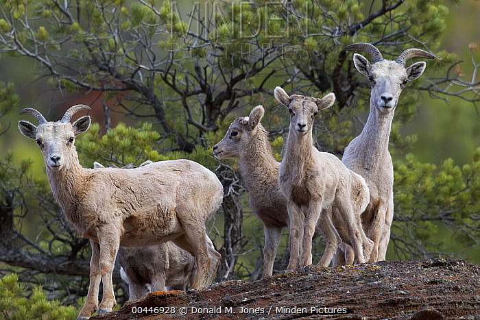 Desert Bighorn Sheep (Ovis canadensis nelsoni) ewe and lamb, Zion National Park, Utah  -  Donald M. Jones
