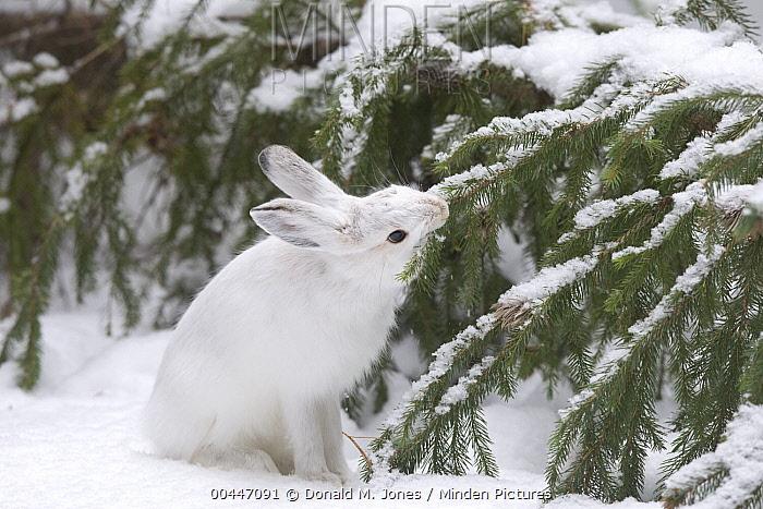 Snowshoe Hare (Lepus americanus) feeding on fallen Douglas Fir (Pseudotsuga menziesii) tree, northwest Montana  -  Donald M. Jones