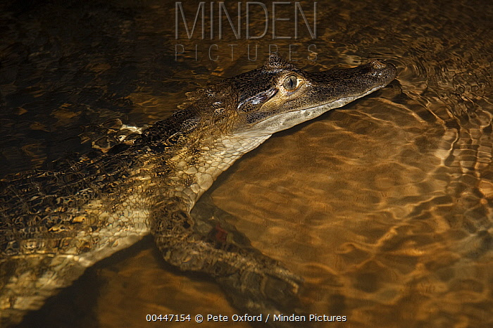 Spectacled Caiman (Caiman crocodilus) at night, Rewa River, Guyana  -  Pete Oxford