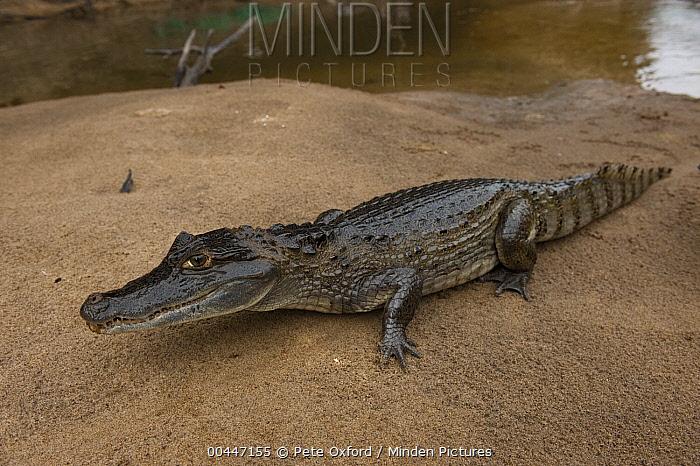 Spectacled Caiman (Caiman crocodilus) on riverbank, Rewa River, Guyana  -  Pete Oxford
