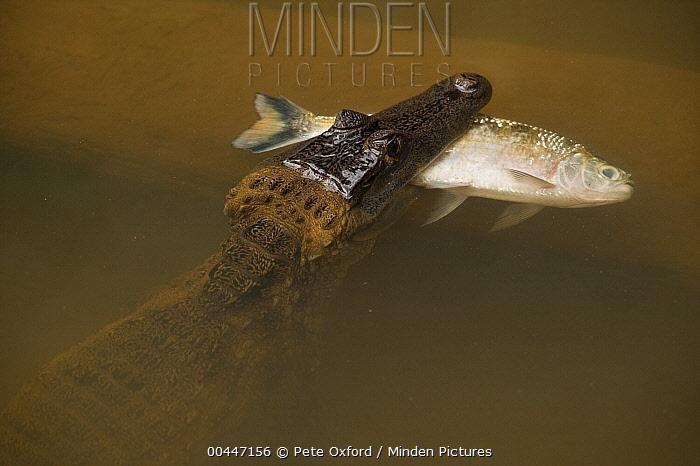 Spectacled Caiman (Caiman crocodilus) with fish prey, Rewa River, Guyana  -  Pete Oxford