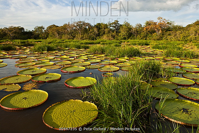 Amazon Water Lily (Victoria amazonica) pads in permanent ponds in savannah, Rupununi, Guyana  -  Pete Oxford