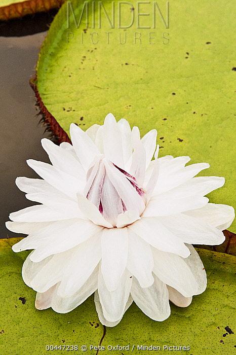 Amazon Water Lily (Victoria amazonica) flower in permanent ponds in savannah, Rupununi, Guyana  -  Pete Oxford