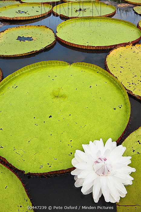 Amazon Water Lily (Victoria amazonica) flower in permanent ponds in savannah, Rupununi, Guyana  -  Pete Oxford