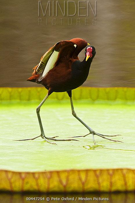 Wattled Jacana (Jacana jacana) in defensive posture on lily pad, Rupununi, Guyana  -  Pete Oxford