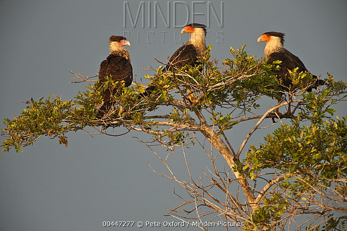 Crested Caracara (Caracara cheriway) trio, Rupununi, Guyana  -  Pete Oxford