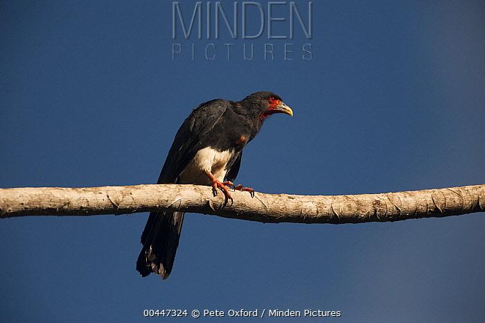 Red-throated Caracara (Daptrius americanus), Iwokrama Rainforest Reserve, Guyana  -  Pete Oxford