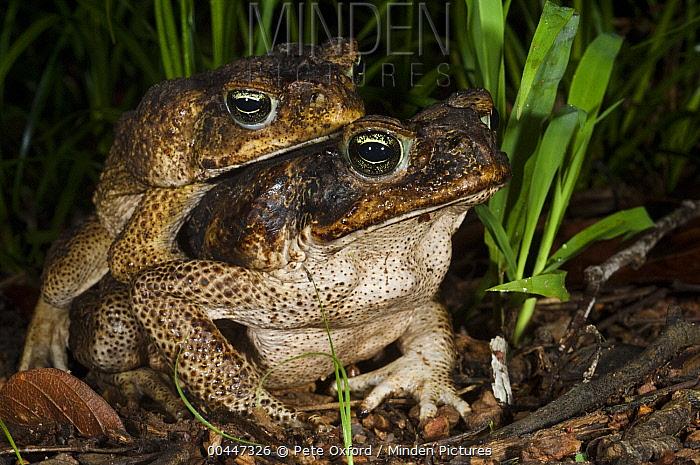 Cane Toad (Bufo marinus) pair mating, Iwokrama Rainforest Reserve, Guyana  -  Pete Oxford