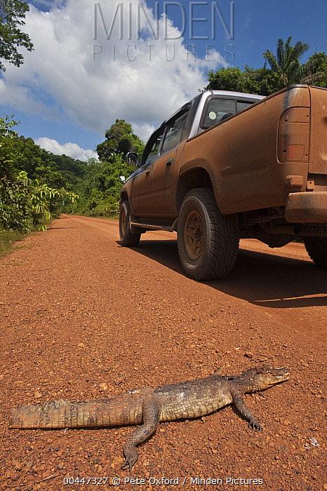 Spectacled Caiman (Caiman crocodilus) dead on road, Iwokrama Rainforest Reserve, Guyana  -  Pete Oxford