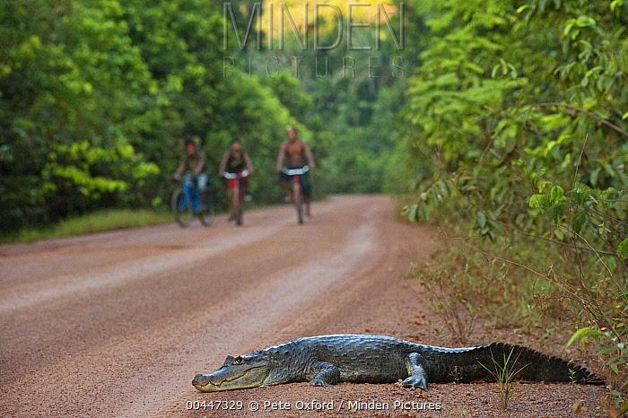 Spectacled Caiman (Caiman crocodilus) on road, Iwokrama Rainforest Reserve, Guyana  -  Pete Oxford