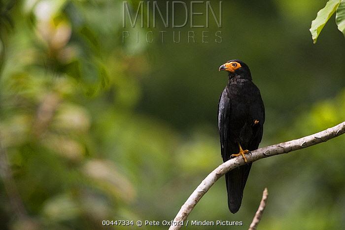 Black Caracara (Daptrius ater), Iwokrama Rainforest Reserve, Guyana  -  Pete Oxford