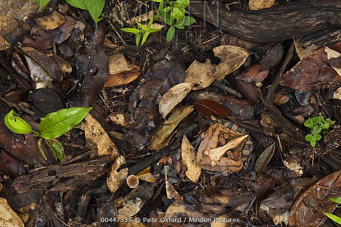 Amazon Horned Frog (Ceratophrys cornuta) camouflaged in leaf litter, Iwokrama Rainforest Reserve, Guyana  -  Pete Oxford