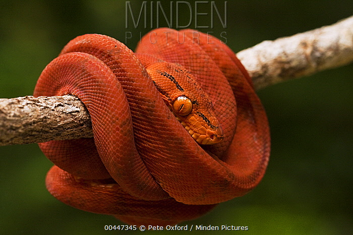 Common Tree Boa (Corallus hortulanus) coiled around branch, Iwokrama Rainforest Reserve, Guyana, manipulated image  -  Pete Oxford