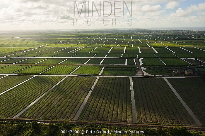 Sugarcane (Saccharum officinarum) plantations, Guyana  -  Pete Oxford
