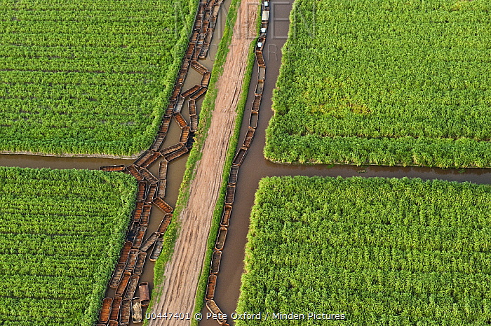 Sugarcane (Saccharum officinarum) plantations and empty canal, Guyana  -  Pete Oxford
