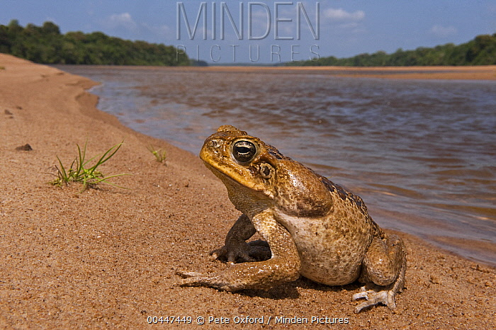 Cane Toad (Bufo marinus) on riverbank, Essequibo River, Iwokrama Rainforest Reserve, Guyana  -  Pete Oxford