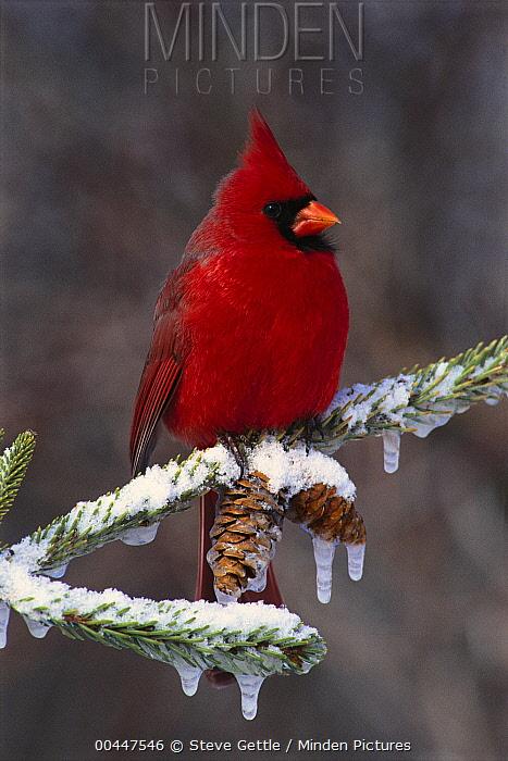 Northern Cardinal (Cardinalis cardinalis) male, Brighton, Michigan  -  Steve Gettle
